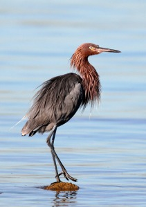 Reddish Egret - accessed at http://tgreybirds.com/Pages/ReddishEgretp.html